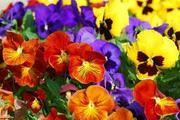 Цветы-летники собственного производства - foto 5