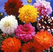 Цветы-летники собственного производства - foto 9