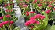 Цветы махровая примула - foto 0