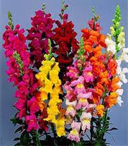 Цветы : бегония ампельная,  вербена,  львиный зев,  лобелия,  циния - foto 1