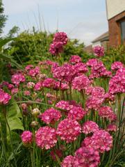 Цветы: тунбергия,  армерия,  изолепис,  гацания,  бальзамин,  пеларгония - foto 0