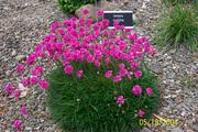 Цветы: тунбергия,  армерия,  изолепис,  гацания,  бальзамин,  пеларгония - foto 1