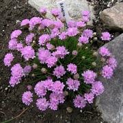 Цветы: тунбергия,  армерия,  изолепис,  гацания,  бальзамин,  пеларгония - foto 2