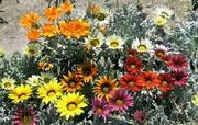Цветы: тунбергия,  армерия,  изолепис,  гацания,  бальзамин,  пеларгония - foto 4