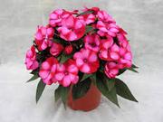 Цветы: тунбергия,  армерия,  изолепис,  гацания,  бальзамин,  пеларгония - foto 5