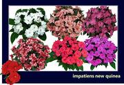 Цветы: тунбергия,  армерия,  изолепис,  гацания,  бальзамин,  пеларгония - foto 6
