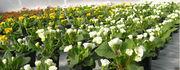 Цветы махровая примула