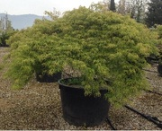 Декоративные растения итальянского качества . Прямые поставки. - foto 0