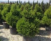Декоративные растения итальянского качества . Прямые поставки. - foto 5