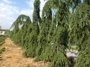 Декоративные растения итальянского качества . Прямые поставки. - foto 8