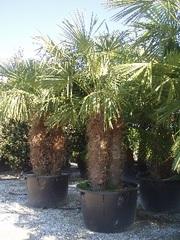 Декоративные растения итальянского качества . Прямые поставки. - foto 10