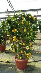 Декоративные растения итальянского качества . Прямые поставки. - foto 11