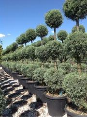 Декоративные растения итальянского качества . Прямые поставки. - foto 13