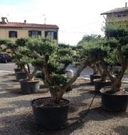 Декоративные растения итальянского качества . Прямые поставки. - foto 18
